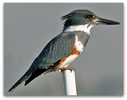 Belted kingfisher (photo by Mike Baird)