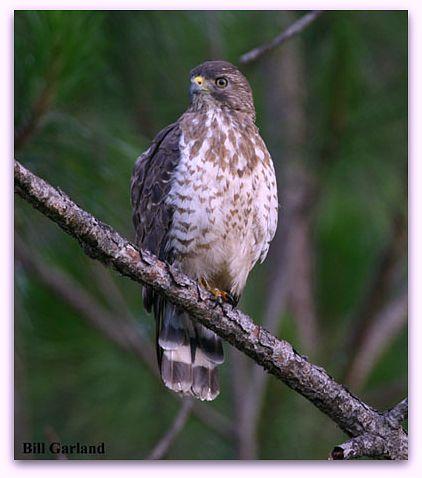 Broad-winged hawk (photo by Bill Garland)