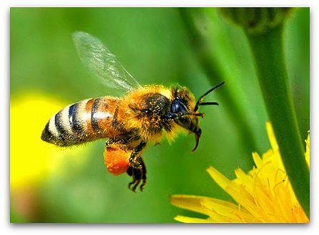 Honey bee gathering pollen, by Tsukuba