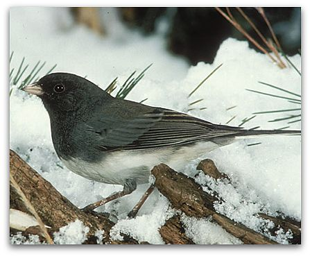 Junco (photo by J.R. Woodward)