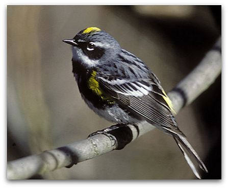 Myrtle warbler (photo by Marie Read)