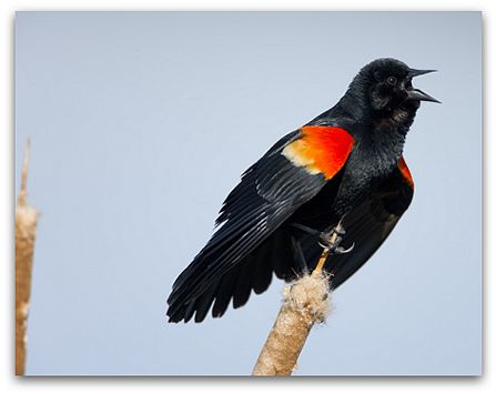 Red-wing blackbird (photo by Marie Read)