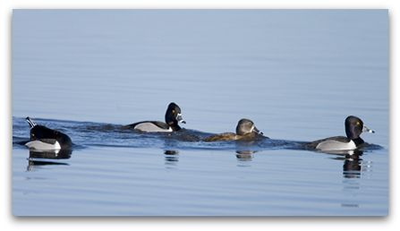 Ring neck ducks, photo by Marie Read