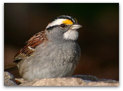 White-throated sparrow (photo by Mike McDowell)