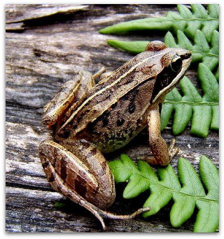 Woodland frog (photo by James Harding)