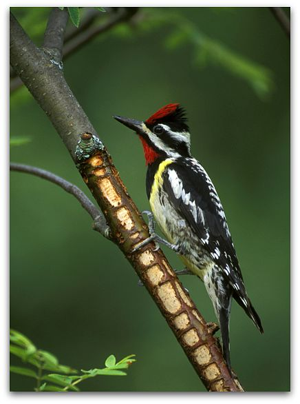 Yellow-bellied sapsucker (photo by Marie Read)