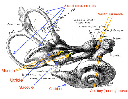 inner ear diagram
